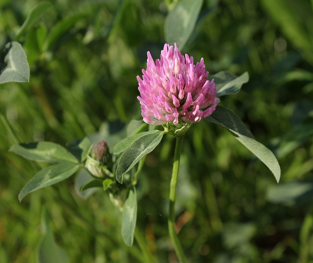 Red Clover 2011 G4