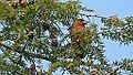 Red Crossbill (8374322809).jpg