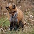 Red Fox (11078206626).jpg