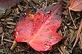 Red Leaf (280350996).jpg