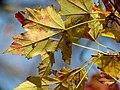 Red Maple (30980237202).jpg