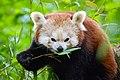 Red Panda (27961427858).jpg