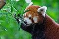 Red Panda (36831306593).jpg
