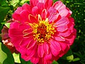 Red Zinnia Flower (209369649).jpeg