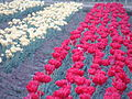 Red and White Tulips.JPG