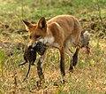 Red fox with nutria.jpg