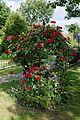 Red rose trellised at Boreham, Essex, England.jpg