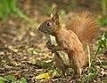Red squirrel (51266290779).jpg