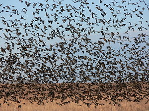 A flock of red winged blackbirds, Kansas, Nove...