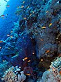 Reef scene at Daedalus Reef, Red Sea, Egypt (6150329645).jpg