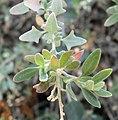 Rhagodia spinescens 2.jpg