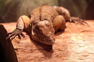 Greensboro Science Center - Rhinoceros iguana at the Greensboro Science Center