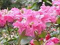 Rhododendron williamsianum1.jpg