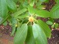 Rhododendron x 'Scintillation' 1.jpg