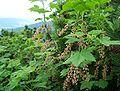 Ribes petraeum a1.jpg