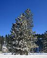 Rime-covered tree.jpg