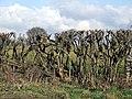 Roadside Hedge - geograph.org.uk - 126175.jpg