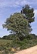 Robinia pseudoacacia and Pinus halepensis, Castelnau-de-Guers 02.jpg