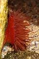 Rode paardenanemoon (Actinia equina).jpg