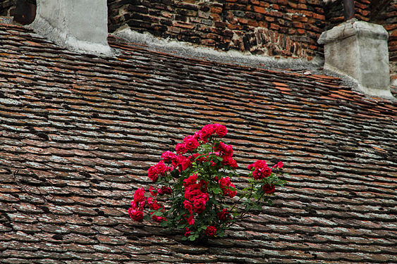Romania roses on the roof.jpg