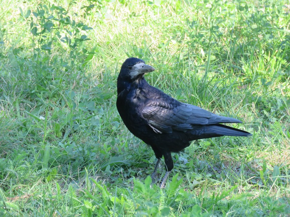 Rook in the grass 14