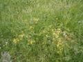Rorippa palustris R0016698.JPG