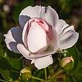 Rosa 'Aspirin Rose' (actm).jpg