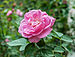 Rosa × centifolia 21072014 (2).jpg