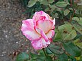 Rosa Handel 2018-07-10 5962.jpg