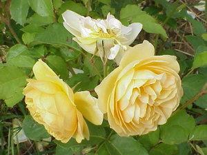 Rosa sp.131.jpg