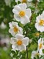 Rose,Rosa spinosissima altaica, バラ, ロサ スピノシッシマ アルタイカ, (8728073165).jpg