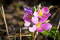 Rosepink (Sabatia angularis) (22068197836).jpg