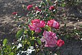 Roses. Nakhichivan. Azerbaijan. Розы. Нахичевань. Азербайджан - panoramio.jpg