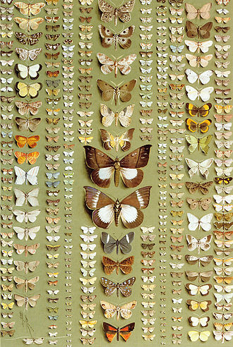 Ellis Rowan - 374 moths of New Guinea, in 11 columns, belonging to a wide variety of families, water colour with bodycolour on grey-green paper, 56.2 x 38.1 cm   1918