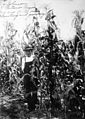 Roy Johnson in his cornfield, 1914 (7262887540).jpg
