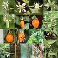 Rubus sumatranus (Montage).jpg
