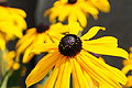 Rudbeckia hirta flower closeup.jpg