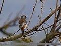 Rufous-backed Redstart (Phoenicurus erythronotus) (31857891803).jpg