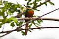 Rufous-tailed Jacamar (Galbula ruficauda) (8079759020).jpg