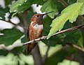 Rufous Hummingbird (29668241085).jpg