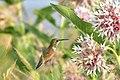 Rufous Hummingbird on Seedskadee NWR (28195388290).jpg
