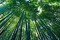 Sagano Bamboo forest, Arashiyama, Kyoto ver.2.jpg