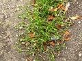 Sagina procumbens plant (20).jpg