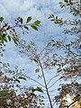 Saint Petersburg. Chinese Garden. Sakura tree2015 03.jpg