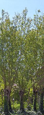 http://upload.wikimedia.org/wikipedia/commons/thumb/e/e5/Salix_alba%2801%29.jpg/150px-Salix_alba%2801%29.jpg