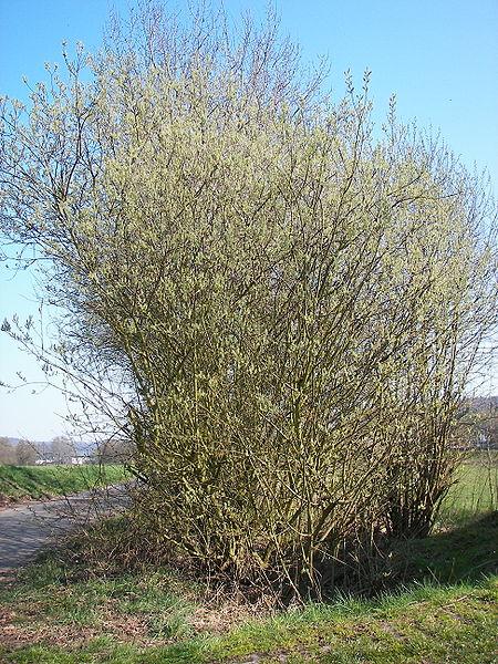File:Salix caprea 015.jpg