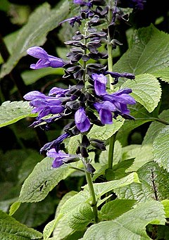 Salvia guaranitica close.jpg