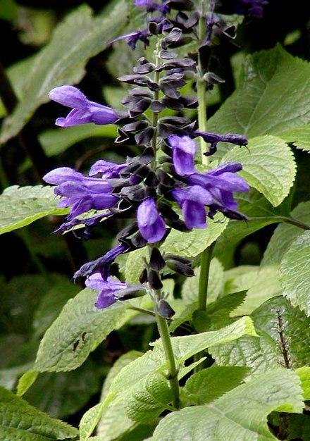 Salvia guaranitica - Wikiwand