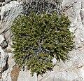 Salvia mohavensis 1.jpg