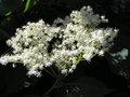 Sambucus nigra1 beentree brok.jpg